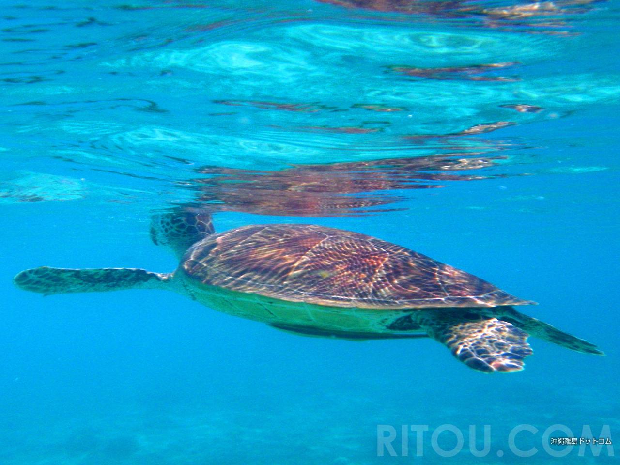一緒に泳ごう!慶良間のウミガメに逢えるビーチ3選