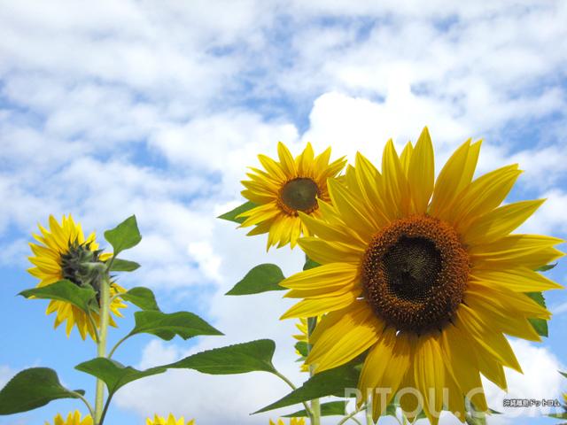 冬の沖縄と言えばひまわり!沖縄・北中城でひと足早い夏を楽しもう!