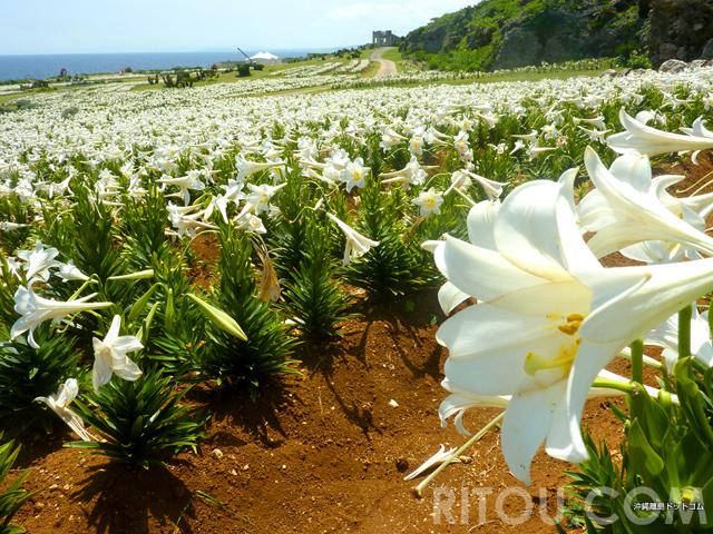 島に入るとゆりの香り!GWの沖縄・伊江島で日本一早いゆり祭り開催!100万輪のテッポウユリを楽しもう