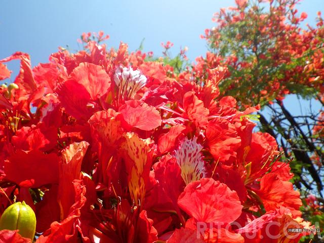 梅雨の沖縄はオレンジ色!色鮮やかなホウオウボクが花盛りの那覇市街を散策しよう