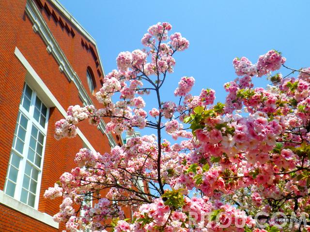 大阪造幣局「桜の通り抜け」はいいね!関西旅行でたまたま遭遇