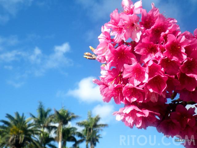 沖縄の桜は「冬咲き誇る」桜の名所で色鮮やかなピンク色を見よう
