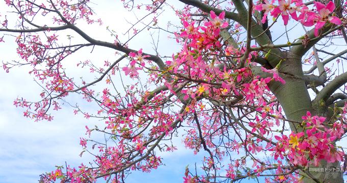 冬の沖縄といえばピンク色!トックリキワタとカンヒザクラを楽しもう