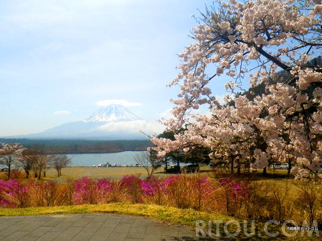 精進湖で桜と富士山の絶景!混雑知らずの湖で身も心もリフレッシュ